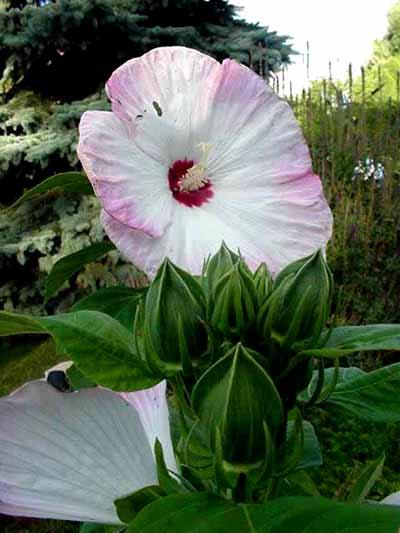 Hibiscus vivace *Southern Belle*